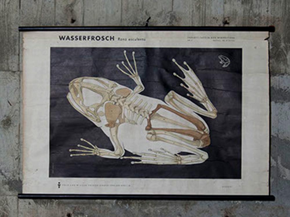 Wassereosch' rane esculenta