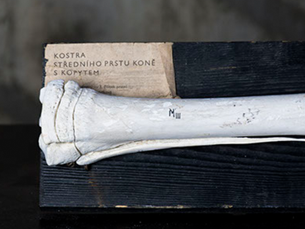 Horse bone leg teaching materials